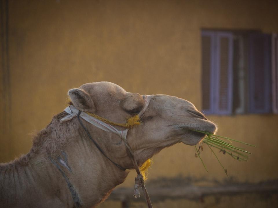 Egyptian Camel Market